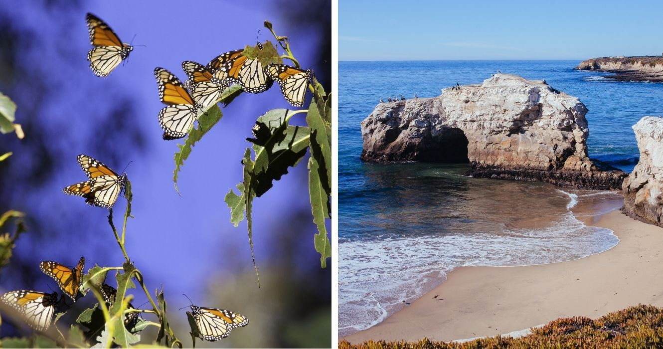 How To Enjoy The Beauty Of Monarchs (And Other Butterflies) At Natural Bridges State Beach